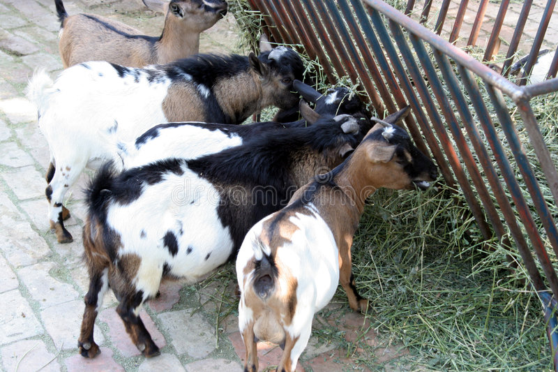 Goats eating straw stock image