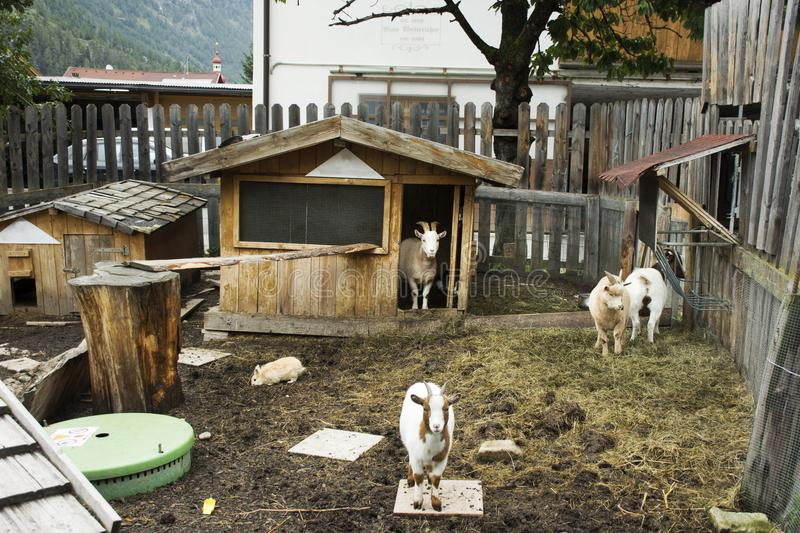 Goats family and Rabbits stand on ground in cage at outdoor. At Pfunds village in evening time in Tyrol, Austria stock photos