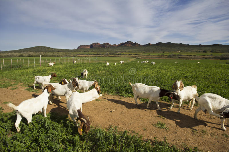 Goats on the farm royalty free stock photography