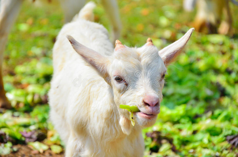The goats stock image