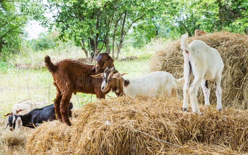 Download Goats in farm stock image. Image of industry, leaf, agriculture - 33180603