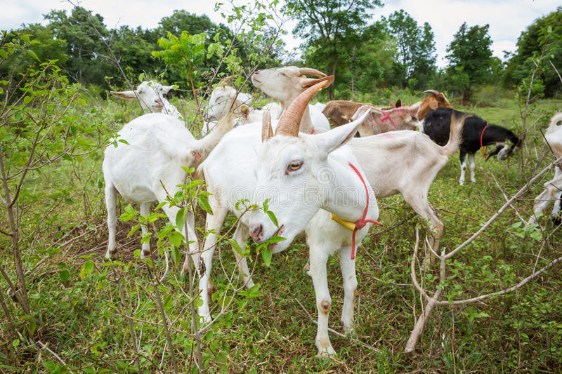 Download Goats in farm stock photo. Image of field, beautiful - 33449506
