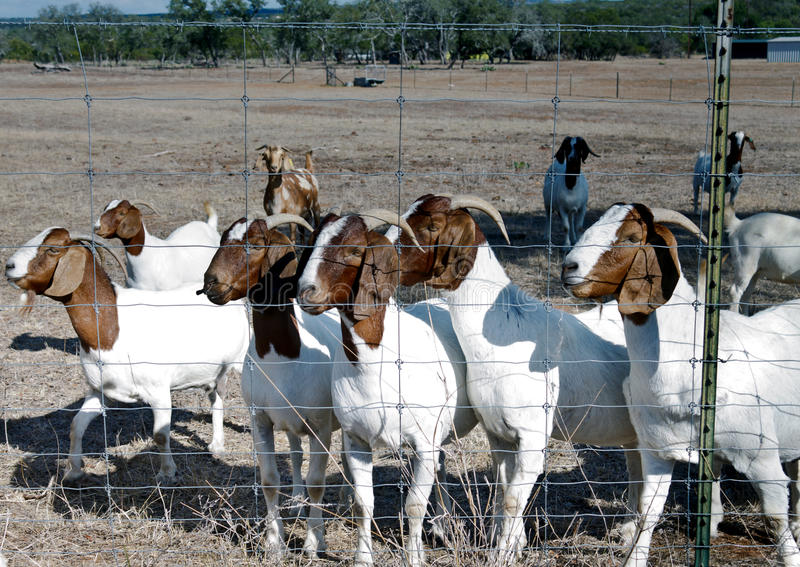Goats in a field. Coming to the fence to visit royalty free stock photography