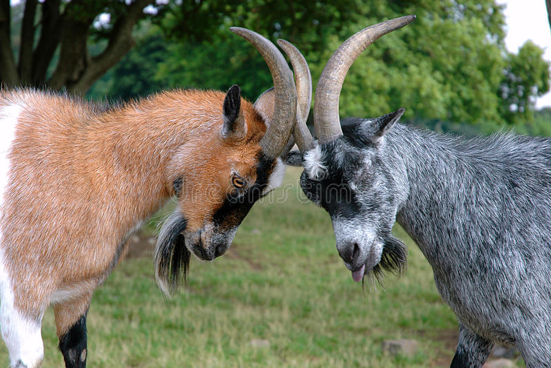 Goats in a fight. Goats fighting to be the winner stock photography