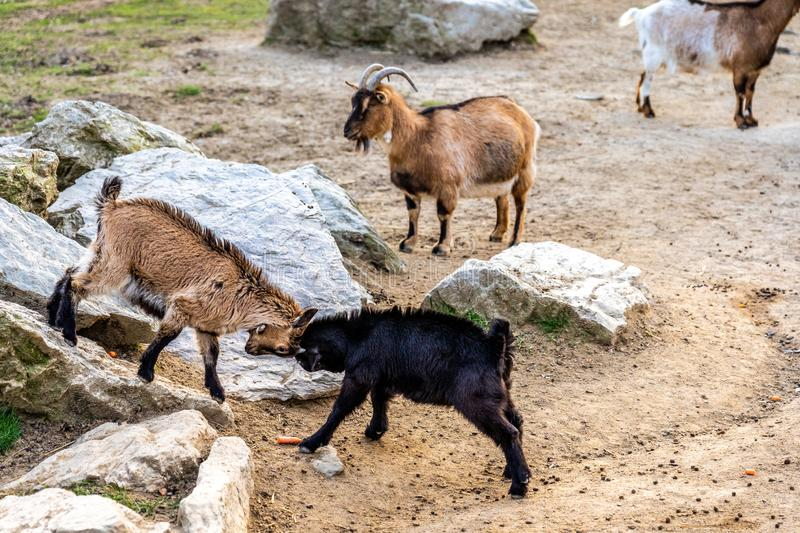 goats fighting in Opel zoo, Königstein im Taunus royalty free stock photo