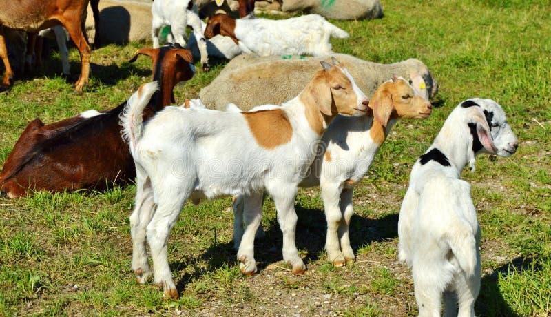 Goats, Goat, Cow Goat Family, Pasture stock image