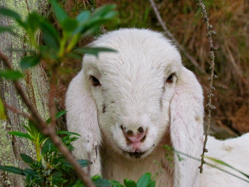 Goats, Goat, Cow Goat Family, Fauna Free Public Domain Cc0 Image
