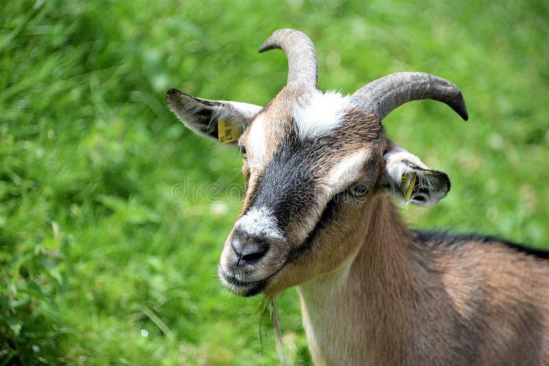 Goats, Goat, Fauna, Horn Free Public Domain Cc0 Image