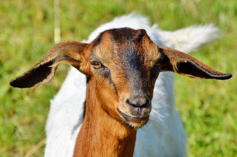 Goats, Goat, Goat Antelope, Cow Goat Family Free Public Domain Cc0 Image