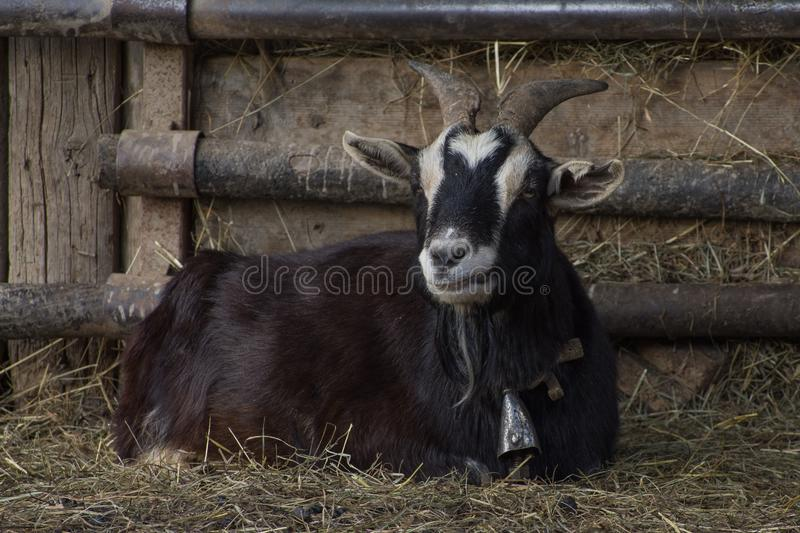 Goats, Goat, Horn, Cow Goat Family stock images