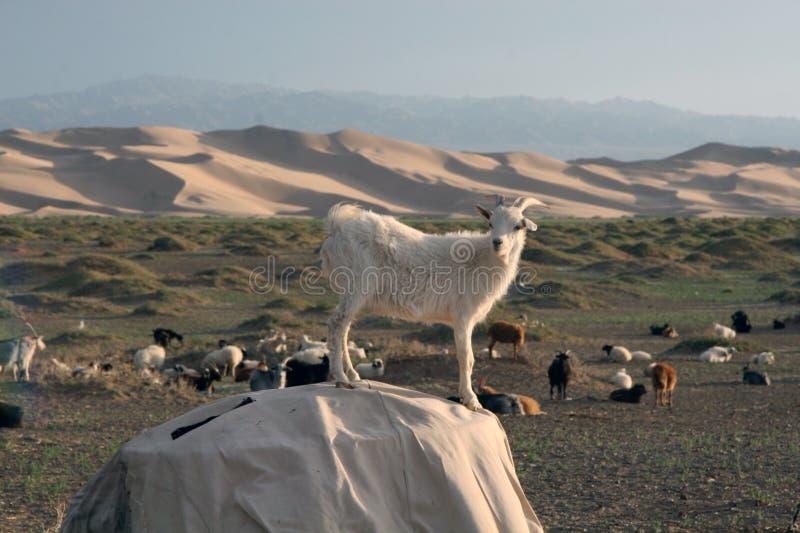 Goats in Gobi Desert of Mongolia. Goats in the Gobi Desert of Mongolia stock image
