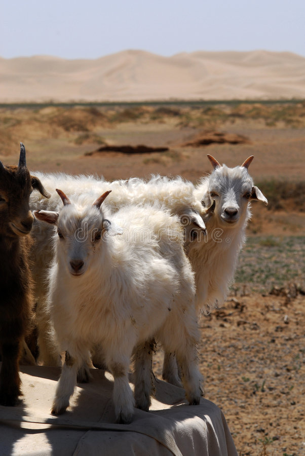 Goats in the Gobi desert, Mongolia. Goats fooling aruond on top of the wood pile alongside a nomadic herder family compound on the edge of the Gobi Desert in stock photo