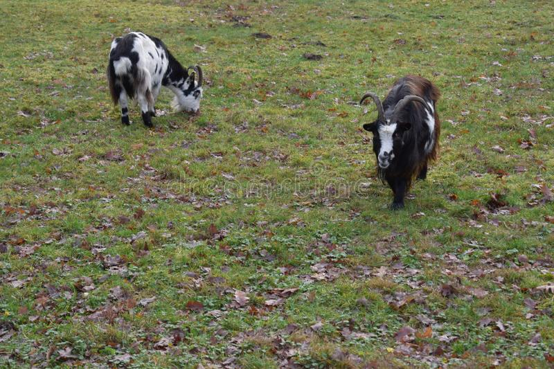 Goats in a grass field stock image