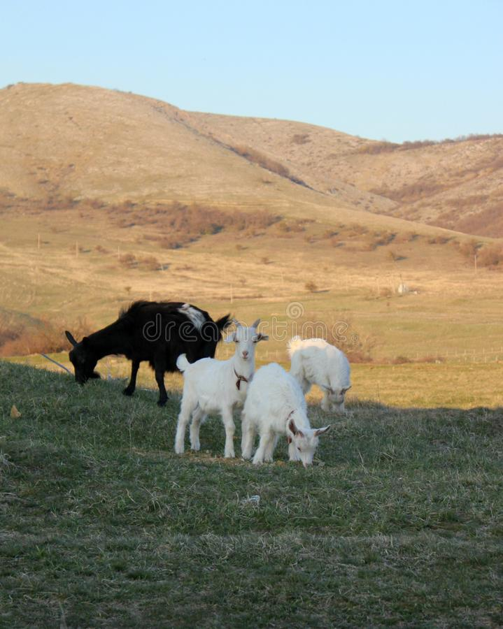 Goats graze in a valley by the mountains royalty free stock photo