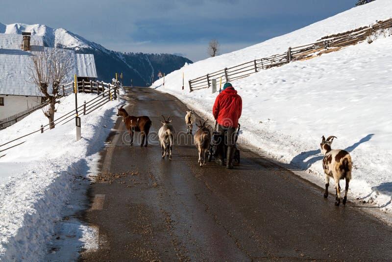Goats grazing