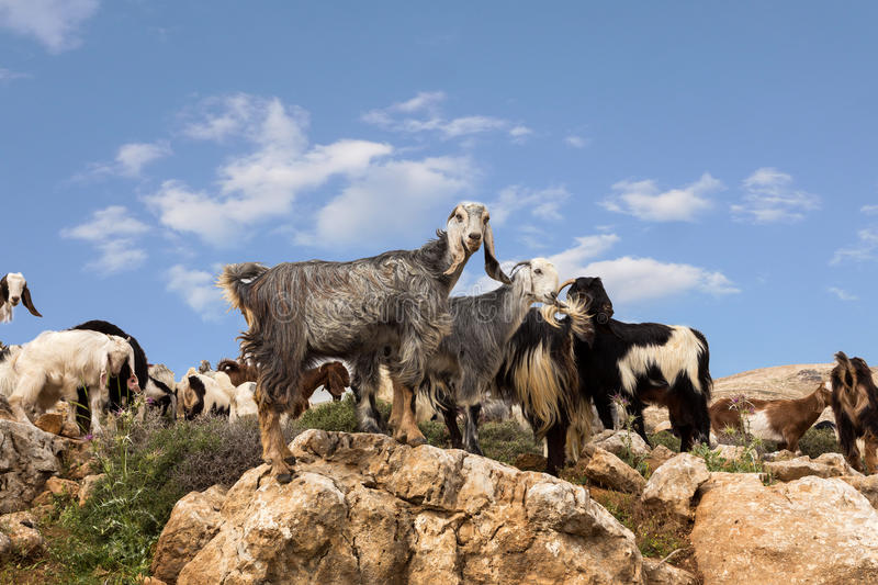 Download Goats Grazing In The Mountains Of The Desert Stock Photo - Image: 83707257