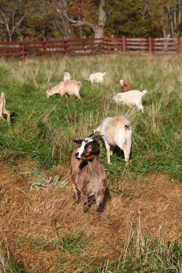 Goats grazing in a paddock on a rural farm royalty free stock photos