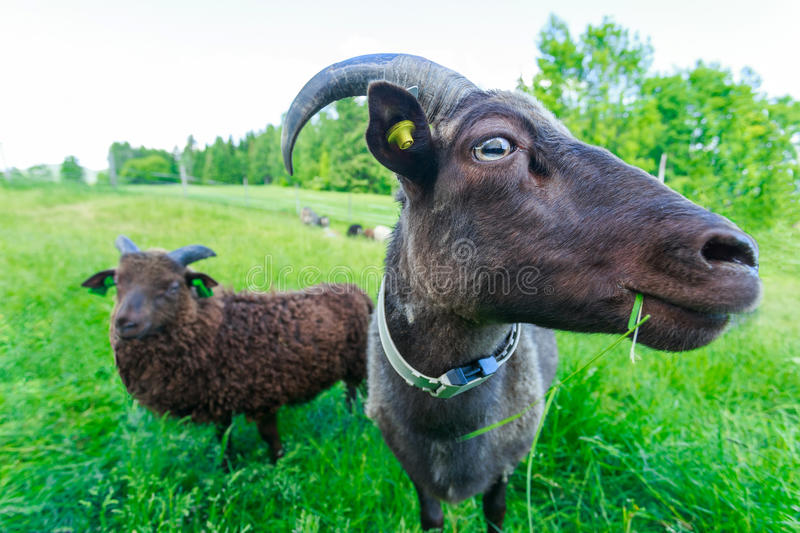 Goats on a green meadow stock photo