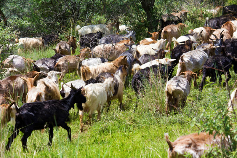 Goats heard