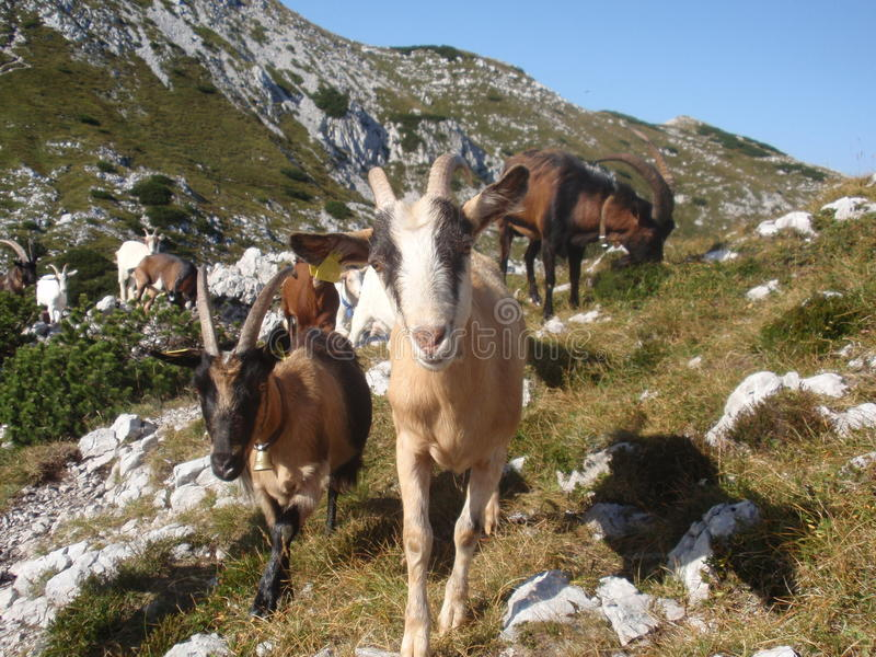 Goats herd stock images