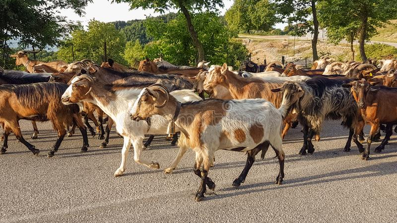 Goats animals many on the road Arta Greece. Goats many on the road Arta Greece stock images