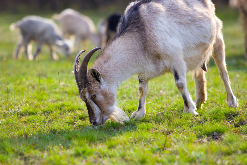 Download Goats on the meadow stock image. Image of little, meadow - 11619021
