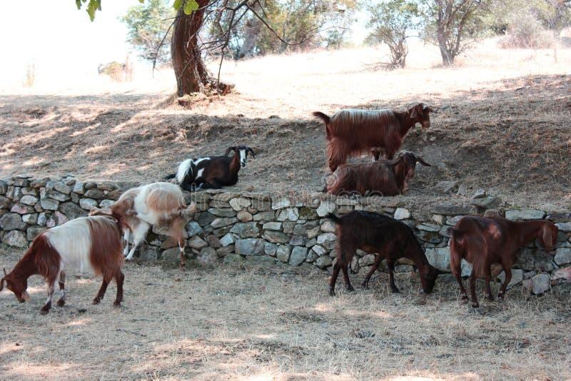 Goats near Saint Achilleios church at Prespes Lake Florina north. Ern Greece Europe stock photography