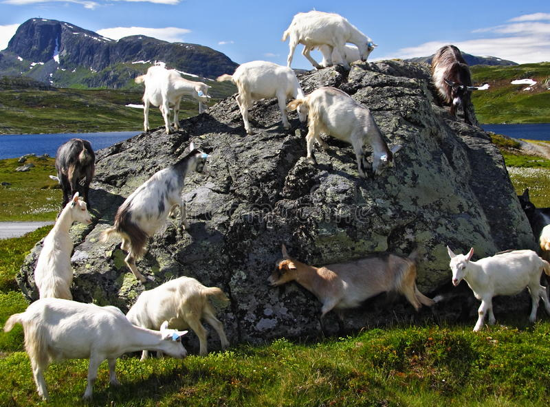 Goats in Norway royalty free stock photography