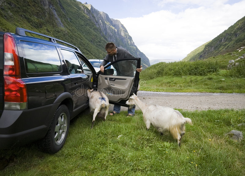 Goats of Norway and car. A tourist stopped his car at the side of a mountain road, surrounded by very friendly goats. He lets them in the car. Norway, Norwegian stock image