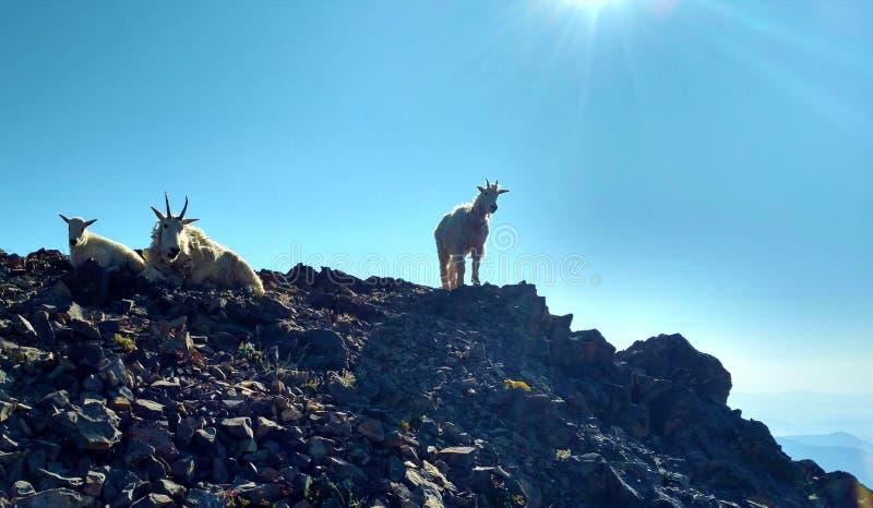 Goats on Peak stock photos