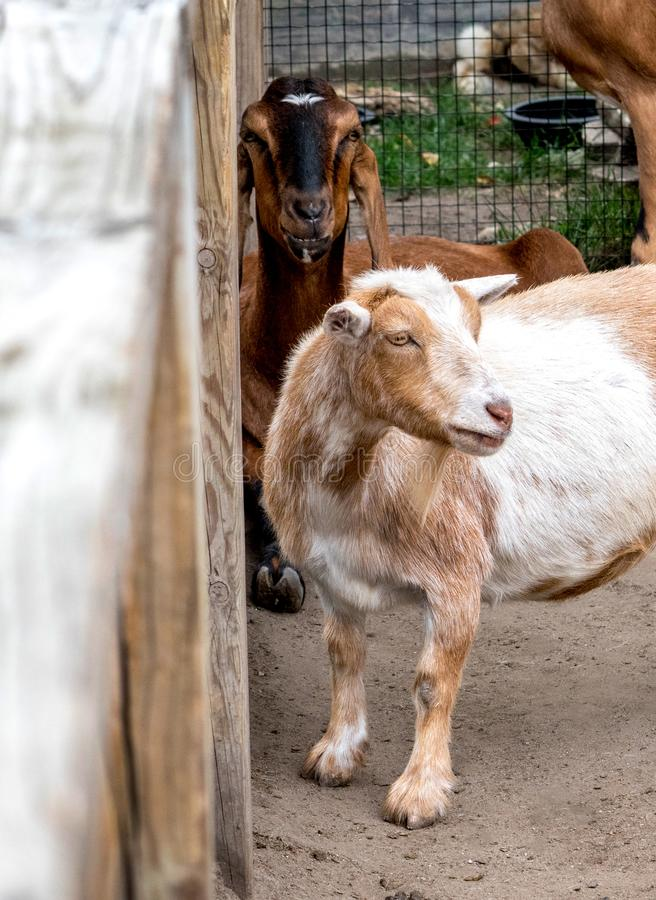Goats at petting zoo wait for kids royalty free stock photography