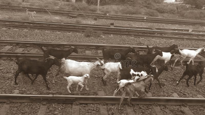 Goats on railway royalty free stock photography