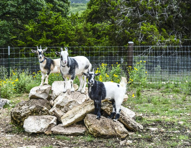 Goats on rock pile. Three goats standing on rock pile in farm yard royalty free stock photos