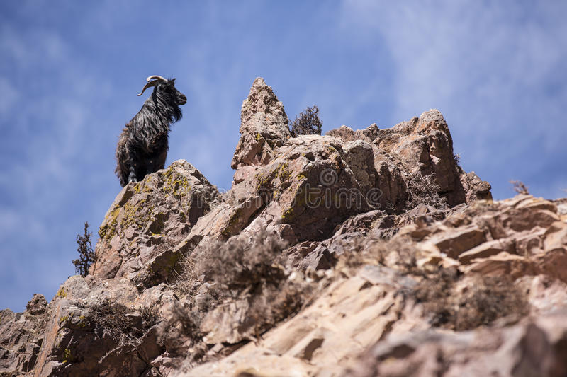 Download Goats on the rocks stock photo. Image of animals, black - 33271936