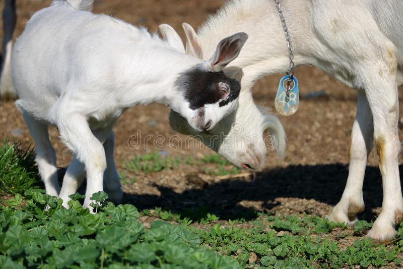 Goats Rubbing Heads and Playing. Close on a Nigerian Dwarf Goat and another goat standing in the pasture butting heads during a round of playful activity stock images