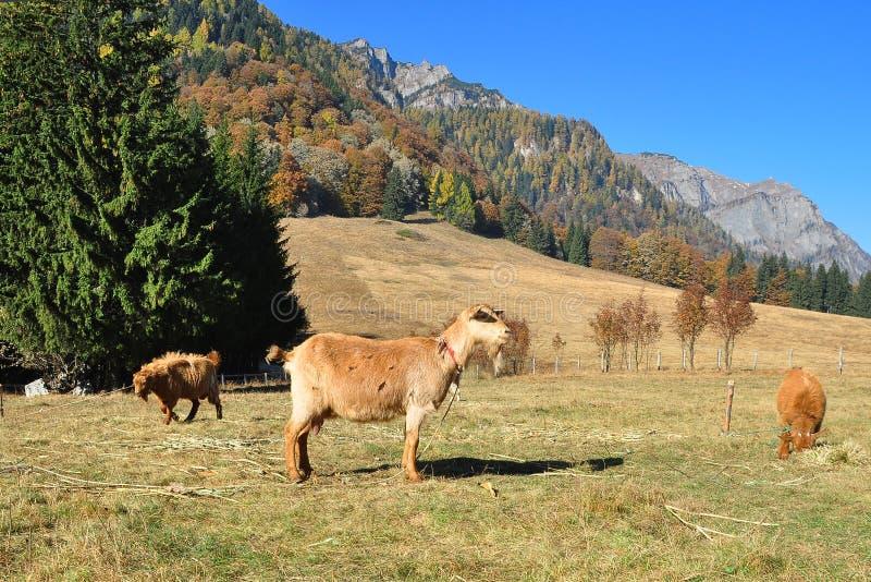 Goats S Farm 2 Royalty Free Stock Image