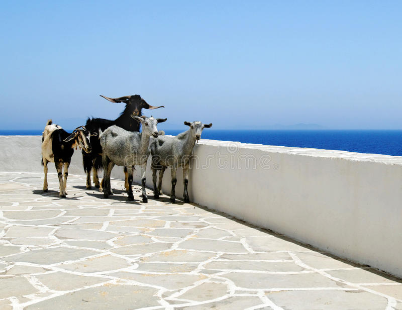 Download Goats on seaside patio stock photo. Image of oceanfront - 22603054
