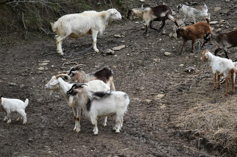 Goats and Sheep Sharing Space. These farm animals are used to sharing space with each other and other animals. The Sheep and Goats are wandering farther up the stock images