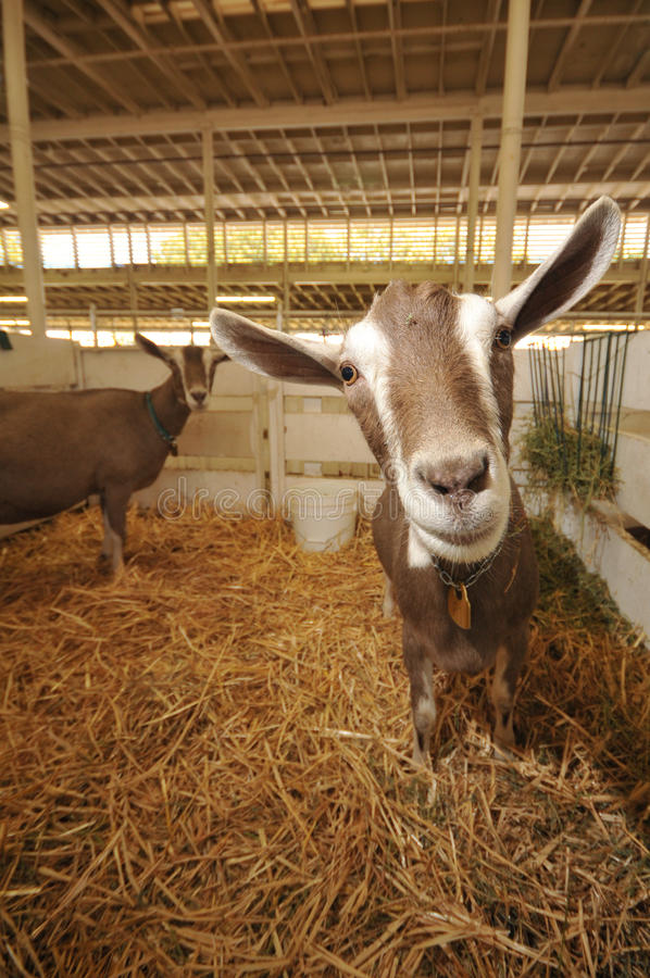 Download Goats In A Stall With Straw And Hay Stock Photo - Image of straw, ears: 26109154