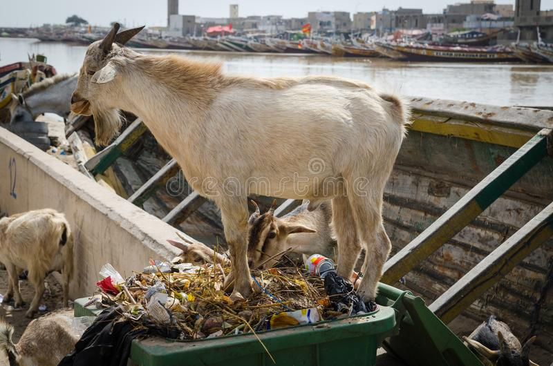 Goats standing in rubbish and trash and eating of it in African coastal town St Louis, Senegal, Africa royalty free stock photo