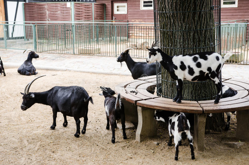 Goats and their kids in petting zoo stock image