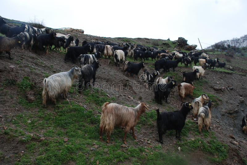 Goats. There is many goats in Siirt, Turkey stock images