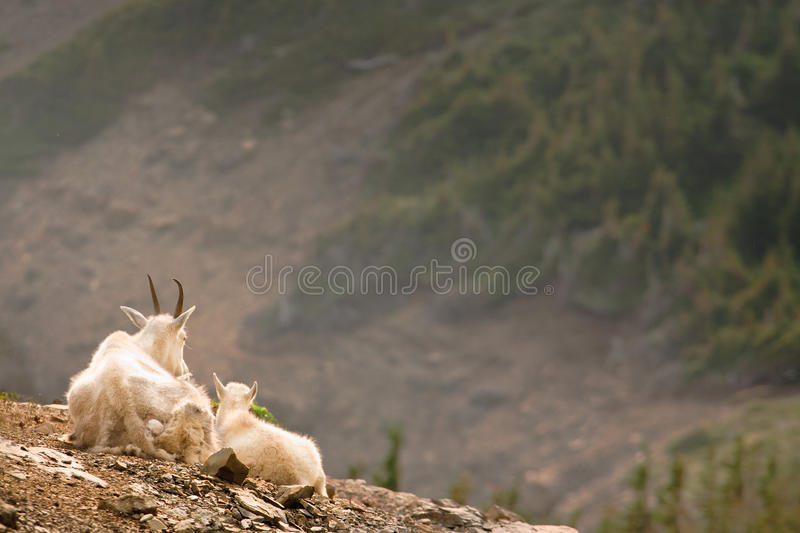 Goats with a View stock images