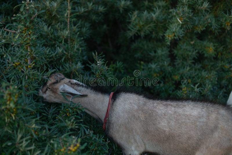 Goats walk on the field and eat grass and bushes. Goats graze and eat leaves on trees and grass stock images