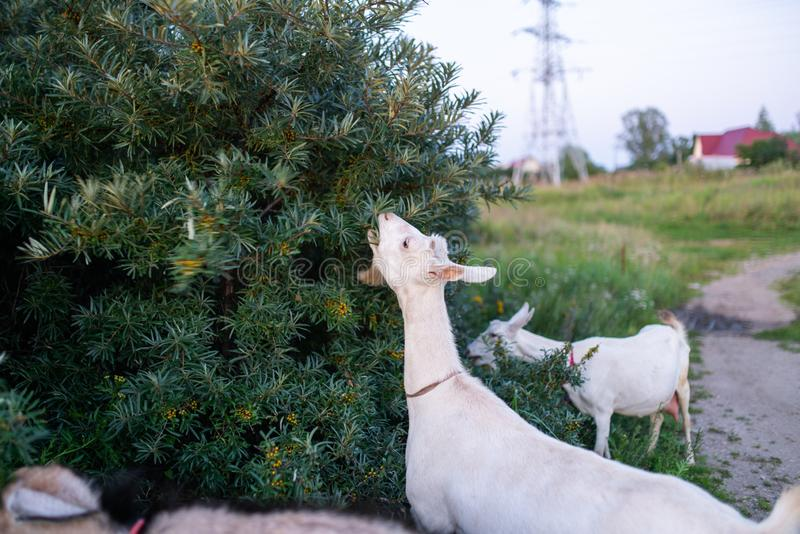 Goats walk on the field and eat grass and bushes. Goats graze and eat leaves on trees and grass stock image