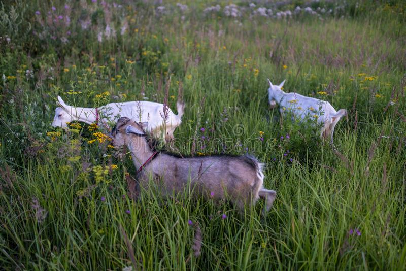 Goats walk on the field and eat grass and bushes. Goats graze and eat leaves on trees and grass royalty free stock image