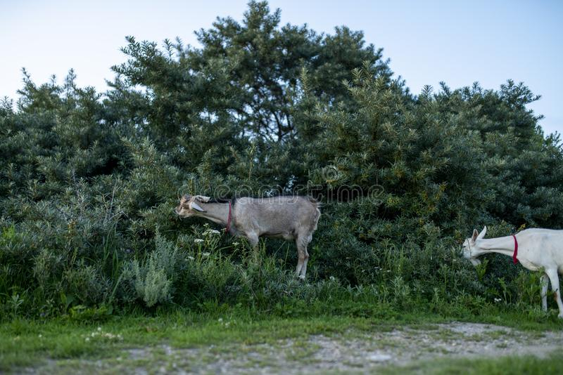 Goats walk on the field and eat grass and bushes. Goats graze and eat leaves on trees and grass royalty free stock images