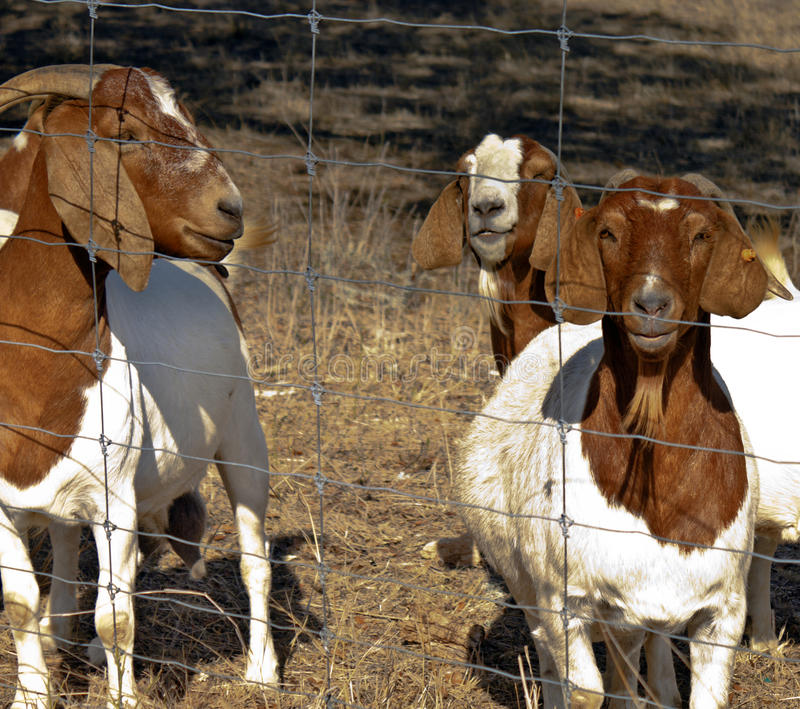 Goats Watching at fence. Brown and White goats watching at a fence in pasture. one is pregnant royalty free stock image