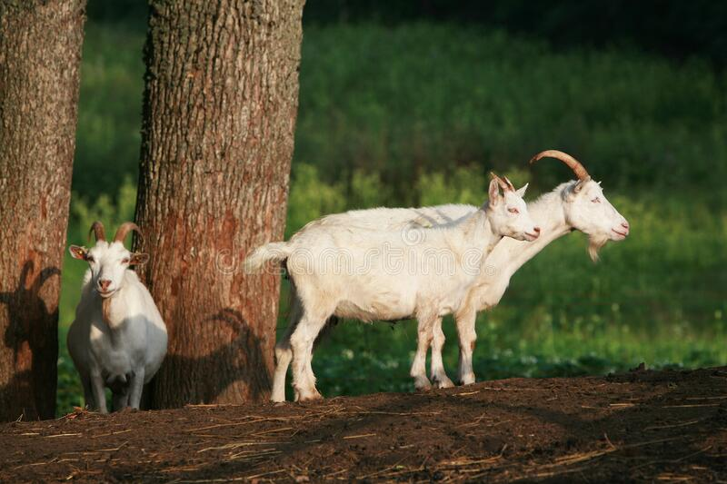 Three white goats on a forest background. Goats of white colors on a goat farm. Sunny summer day on a farm near the forest stock images