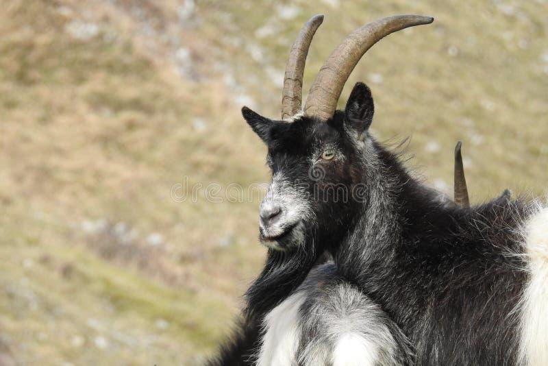 Goats Wild Somerset, UK stock photos